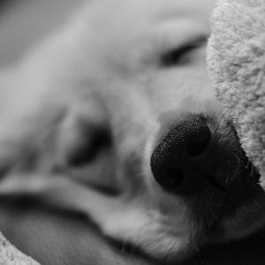 【GIF】このgifの犬に聞きたいんだがやっぱ犬も夢見てるの?