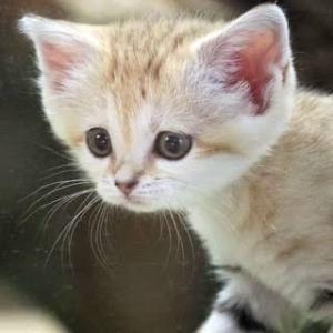 【画像】スナネコの赤ちゃんが天使のように可愛すぎる…    なお、成長後は…