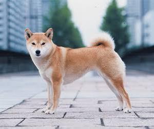 【画像】ランボルギーニ買うか柴犬飼うかで悩んでる