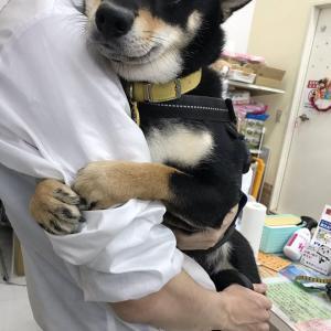 【画像】柴イッヌさん、病院で飼い主さんにぎゅっと抱きついてしまうwww