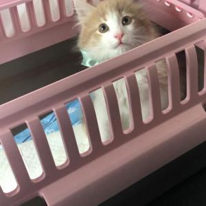 【画像】ノルウェージャンフォレストキャットの子猫お迎えしたでwww