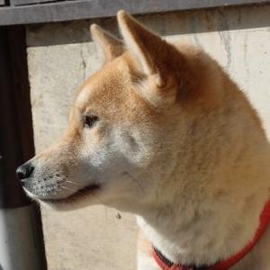 【画像】柴犬飼ってるやつ、きてくれwww