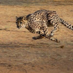 【画像】チーターさん←速いけど持久力ないです、ヒョロイです、噛む力激弱です