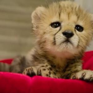 【画像】チーターの赤ちゃん…野生でお母さんと一緒だとキリッとしてるwww
