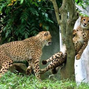 【画像】多摩動物公園のチーターさん、木に挟まってしまうwww