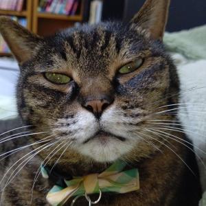 【ねこ画像】うちの猫の坊ちゃん…味わいぶかい(ドスのきいた)お顔がたまりませんwww