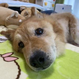【画像】おれんちのじいちゃん犬、16歳…愛されてる顔してるな