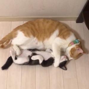 【ねこ画像】おかあにゃんの頭の上に子猫ちゃんが…もふもふ鏡餅ですねwww
