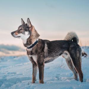 【画像】イッヌ、雪の日の散歩でも暖かくてご満悦wwwwアッタカイヨ~♪