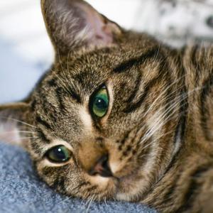 【画像】猫の表情は人間による品種改良を経て乏しくなった【研究】