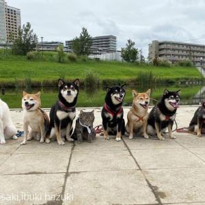 【画像】柴犬、何故こんな駄犬が日本犬の天下を取れたのか?