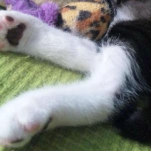 【ねこ画像】クリームパンみたいな猫さんのふっくらおてて…肉球もプニプニですwww