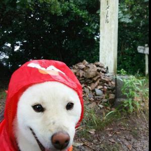 【ほのぼの】うちの犬は雨の日にレインコート着せると、いつも怒って3分でズタボロにする…orz