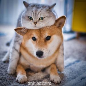 【画像多め】柴犬「懐きません、凶暴です、アホです」←これが人気な理由