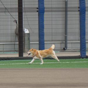 【画像多め】ベイス、もはや選手が遊んでるところか柴犬のドッグランと化してしまう…コレはかわいいからセーフwwww