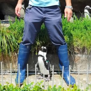 【画像多め】飼育員にベッタリのペンギンさんいた←これはストーカーwwwww