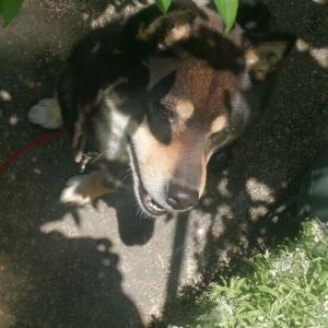 【画像】うちの犬は黒柴なんだけど、ちょっと日向に出すとすぐ熱くなっちゃう