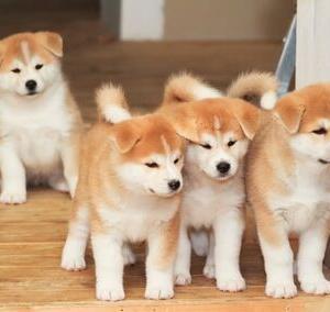 【画像多め】秋田犬の子犬、たった1年でとんでもない大きさに成長する…これはデカイーヌwww