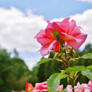 K-1で撮るバラの花@播磨中央公園四季の庭にて