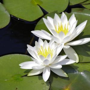 池一面に睡蓮の花@三木山森林公園にて