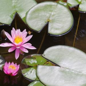 平池公園の蓮の花