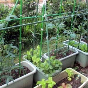 038 ミニトマトの苗は、3本勝て10本にする。