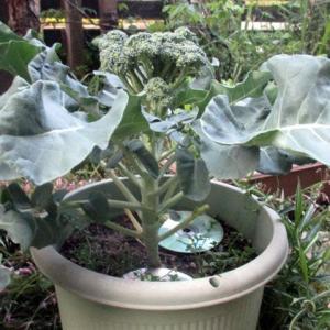 039 ブロッコリーの実を収穫しました。