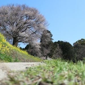 開花情報! 佐賀県武雄市「馬場の山桜」を撮影してきた話