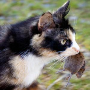 【動物】外飼いのネコが殺している野生動物は北米だけで年間300億匹、「ネコは屋内で飼って」と専門家