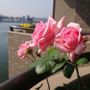 匂わない薔薇