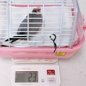 文鳥の体重
