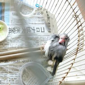 いつもの文鳥