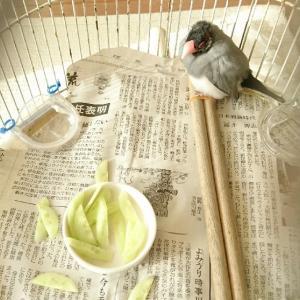 最近の文鳥