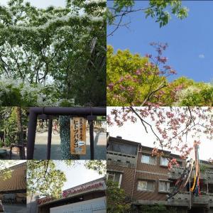 京都真夏日、雪の花ナンジャモンジャ咲く