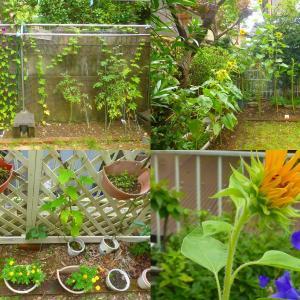 我家の庭園、梅雨明け前に草抜き、花撮り