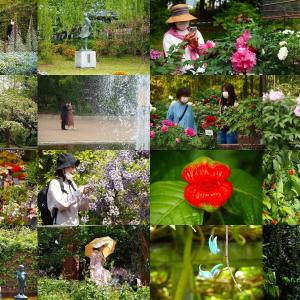京都植物園 見頃の花水木、牡丹、藤巡り
