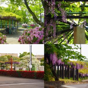 非常事態前花巡り 藤森神社、鳥羽の藤