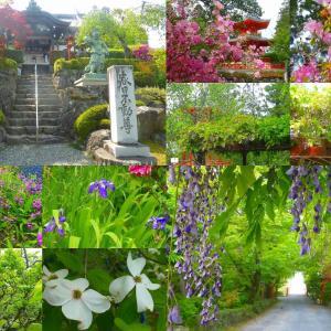 正法寺 新緑花巡り 藤、アザレア、芍薬、花水木
