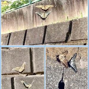 幸運を呼ぶアゲハ蝶 〜Butterflies that bring good luck〜