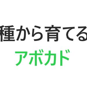 【種から育てる】アボカド栽培の経過①