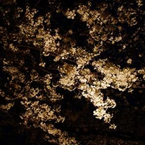 【2020年は中止】野川の桜ライトアップ ー昼間の風景ー