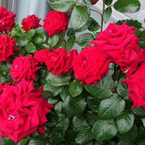 【切り花にしたバラ】長持ちしますように! あじさいは・・・ピンクになるのか??