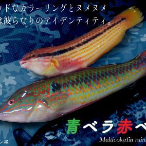 57匹目 魚界も多様性の時代。青ベラ赤ベラ