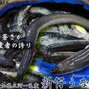 64匹目 愛知県のハイブランド鰻『新仔うなぎ』広島の市場に降臨!