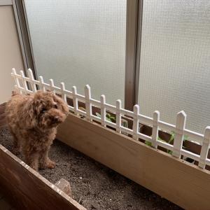 バルコニー菜園でトイレする犬(T . T)。それでも野菜づくりを諦めたくない。