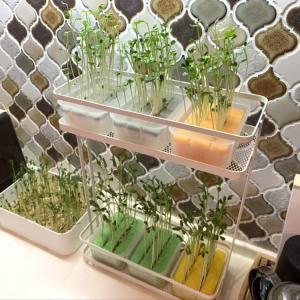 【スポンジ】を使って初めての水耕栽培!豆苗スプラウトとカイワレスプラウトを育ててみる②