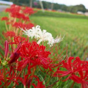 ヒガンバナが開花