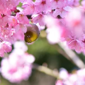 はなとおきゃくさま3 山桜に・・