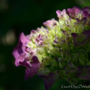 紫陽花1 木漏れ日