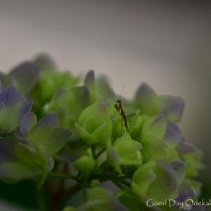 紫陽花4 ぼくのあそびば